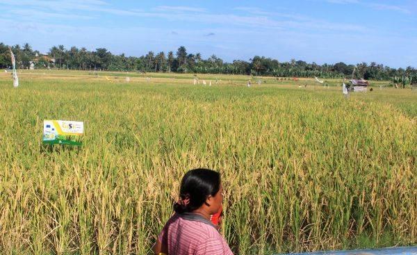 Pertanian Terpadu Salijay